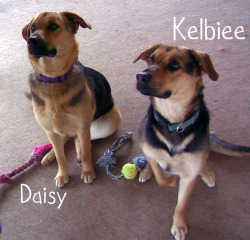 2 Female Shepard Mix Dogs Free - 1 Yr Old