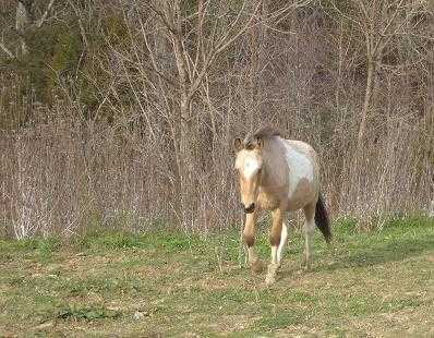 1 Yr Old Buckskin Paint Stallion