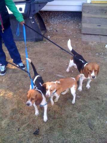 Pet Beagles