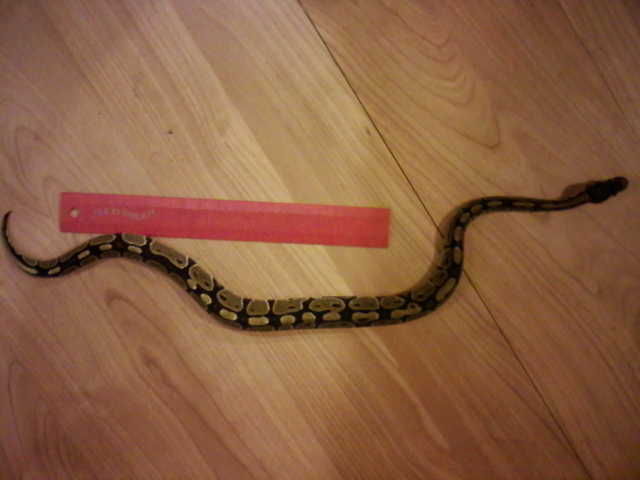 2 Ball Pythons Need New Home
