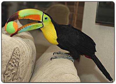 The Keel - Billed Toucan Parrot