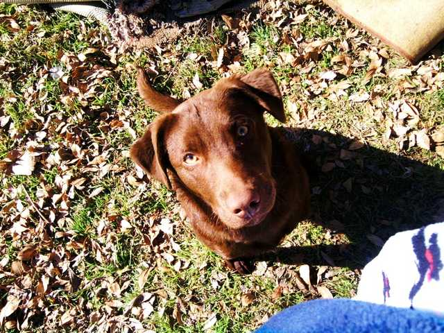 Free Chocolate Lab
