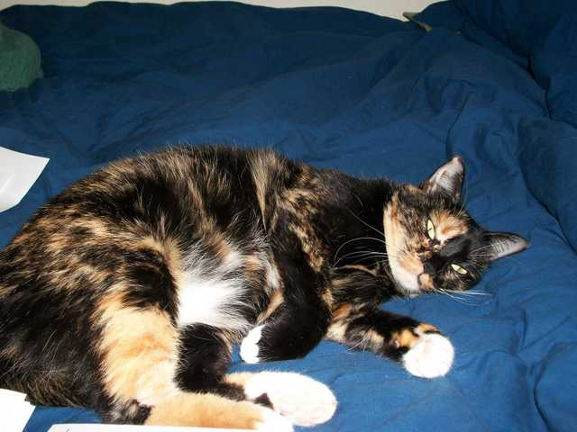 Missing Calico Cat. Reward Offered!