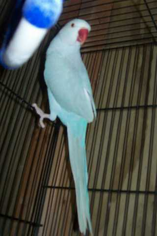 Lost: Blue Female Indian Ringneck