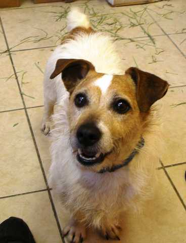 Jack Russell Needs A Home