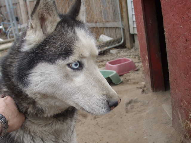 Female Husky Needs Good Home
