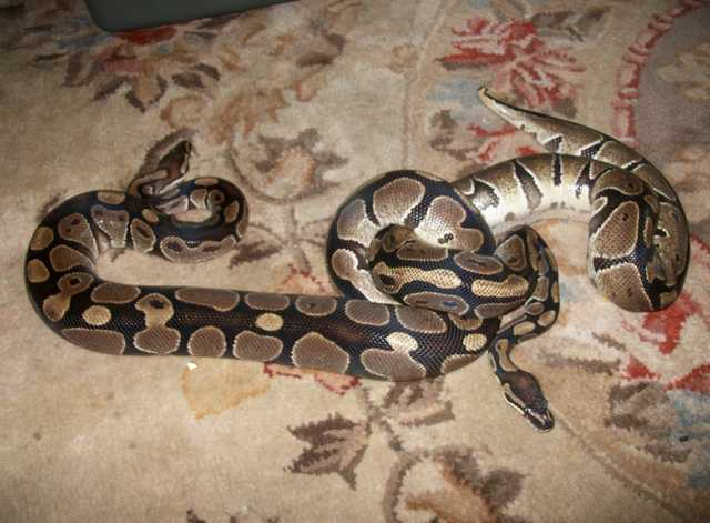 2 Female Ball Pythons W / Full Setup