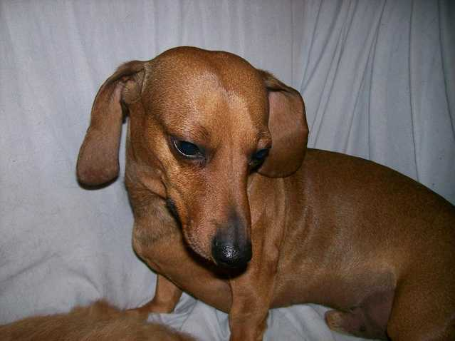 Missing Dachshund