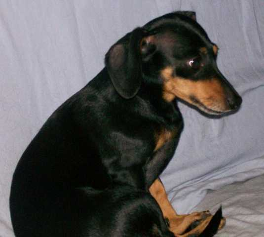 Missing Dachshund / Terrier - Lost & Found Pets (Coppell) - AdsInUSA ...