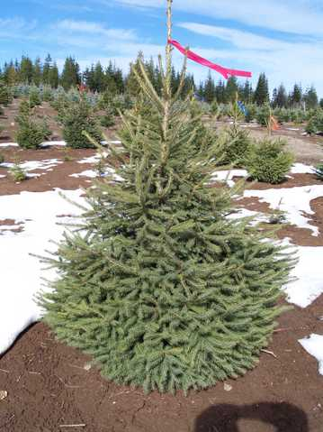 Beautiful Norway Spruce Direct To The Public