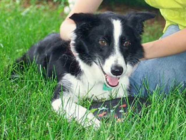 Lovable, Aging Border Collie Needs A Loving Home (With Retiree?)