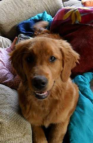 6 Month Old Full Blooded Golden Retriever