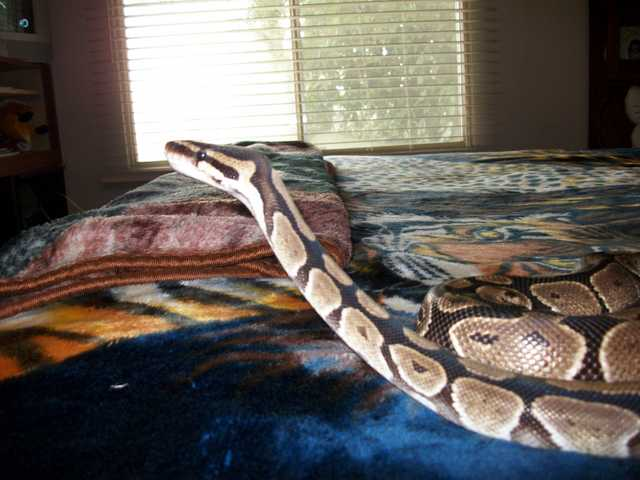Female Ball Python With Full Setup