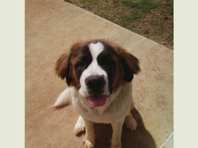Male St. Bernard Puppy