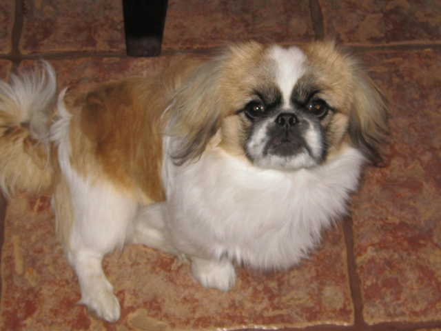 Lost Male Pekingese Dog