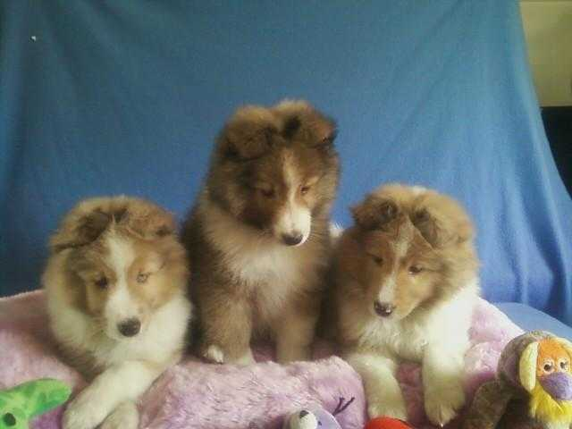Beautiful Akc Reg Sheltie
