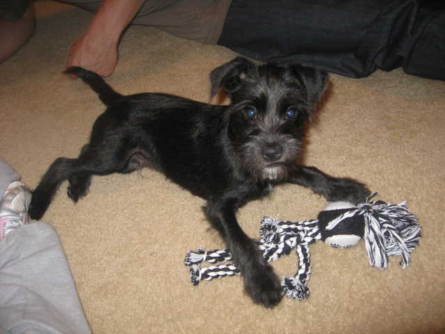 6 Month Old Mini Schnauzer / Mini Terrier W / Kennel & Care Items $60