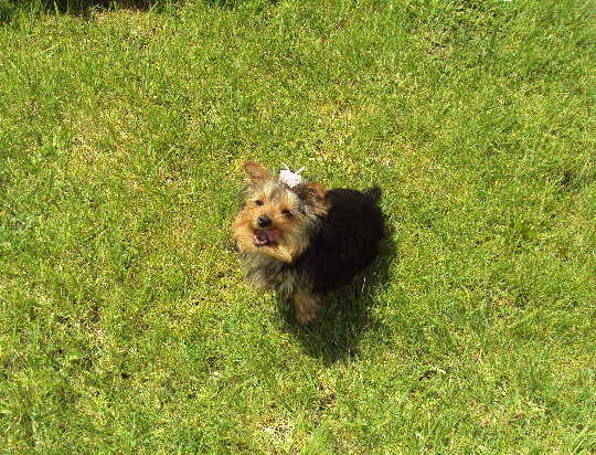Yorkie Female Akc 4 Months Old