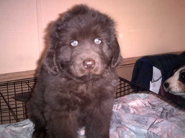 Brown Newfoundland Puppy Looking For Good Home
