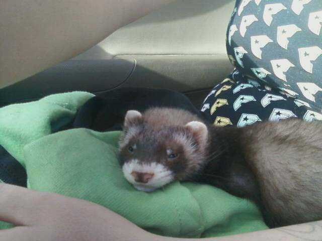 Baby Ferret For Sale