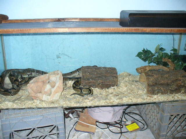 2 Ball Pythons With Accessories