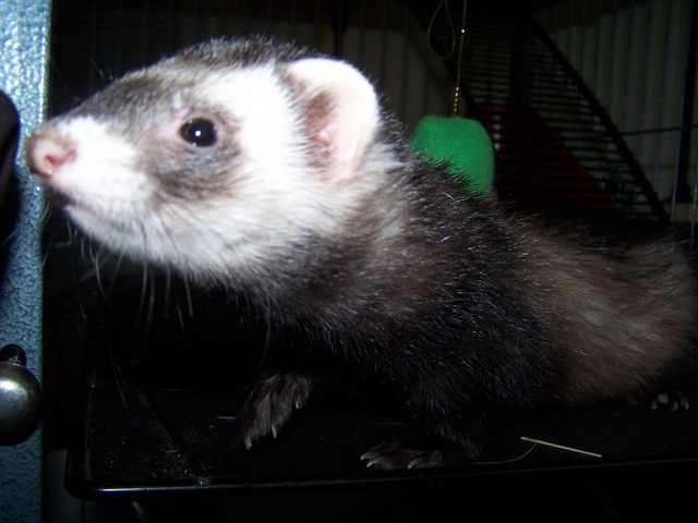 3 Loving Ferrets Need A Home