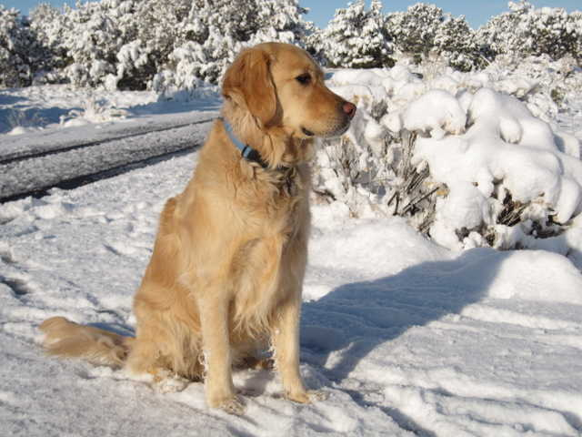 Lost 3 Yr Old Golden Retriever Named Shilo