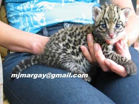 Eight Weeks Old Margay Kittens
