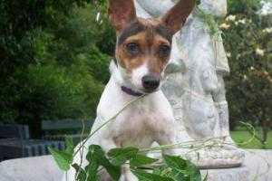 Sophie Rat Terrier Mix