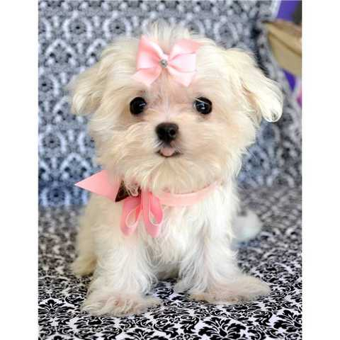 Tcup Maltese Puppy !