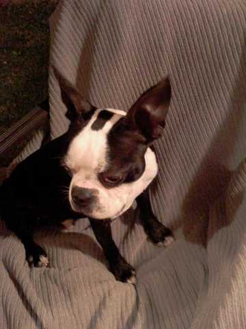 Male Boston Terrier For Adoption
