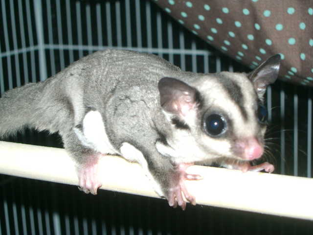 Female Sugar Glider 8weeks Oop With Cage And Accesories