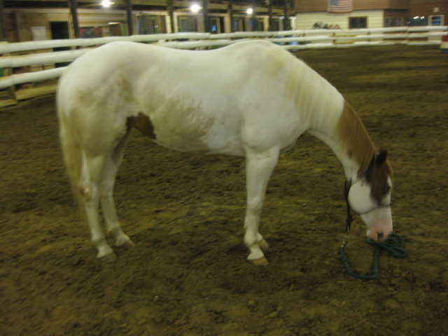 8 Year Old White / Chestnut Registered Paint Mare