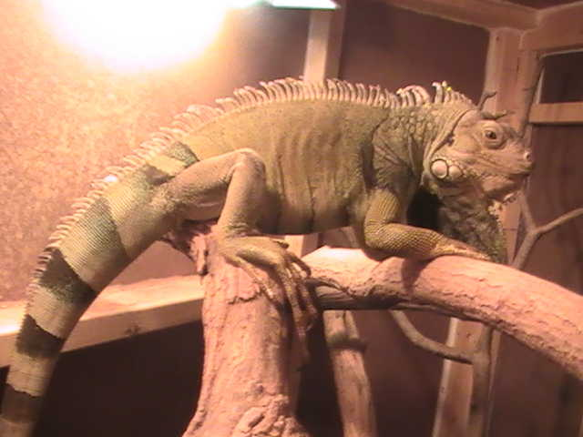 underground reptiles supplies some of the best iguanas for sale in the world! we have one of the greatest selections you will find including green iguanas red iguanas blue iguanas grand cayman iguanas and more