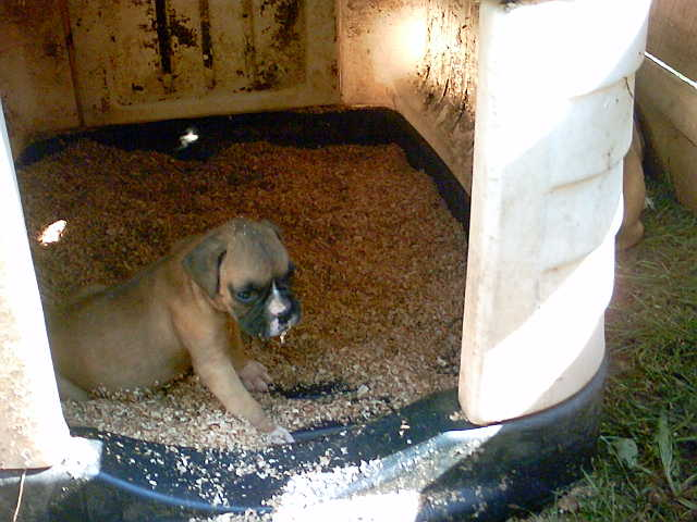 Ckc Registered Fawn N Flashy White Boxers
