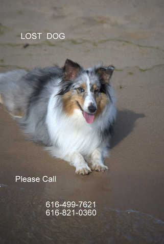 Lost Blue Merle Shetland Sheepdog - Lost & Found Pets (60th And ...
