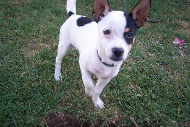 Long Haired Rat Terrier Pictures. Chihuahua+rat+terrier+mix+