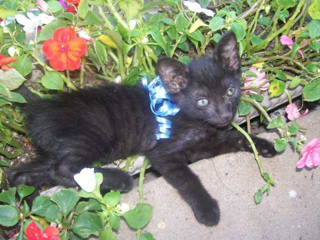 Black Male Kitten Free