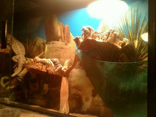 2 Bearded Dragons For Cheap!