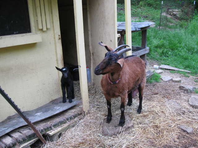 Goats, Chickens And Ducks For Sale