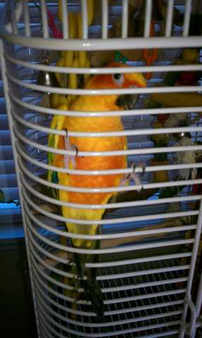 Beautiful Sun Conure