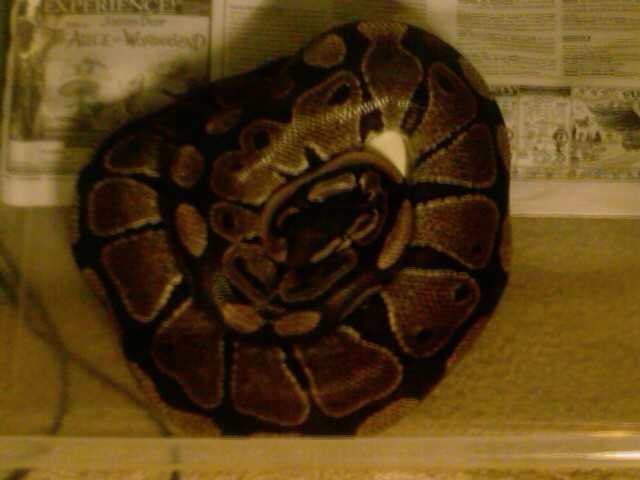 3000 Gram Female Ball Python & More