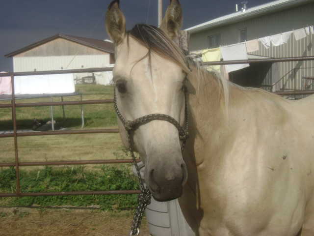 Aqha Buckskin Yearling - Lots A Driftin Ahead