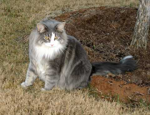 Reward, Lost Solid Gray, White Belly, Fluffy Cat, Needs Meds