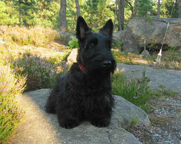Lost Black Scottish Terrier