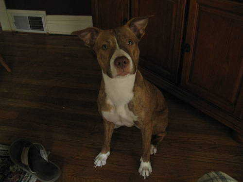 Beautiful Brindle Red Nose Pitbull - 8 Months Old - 300 O. B. O.