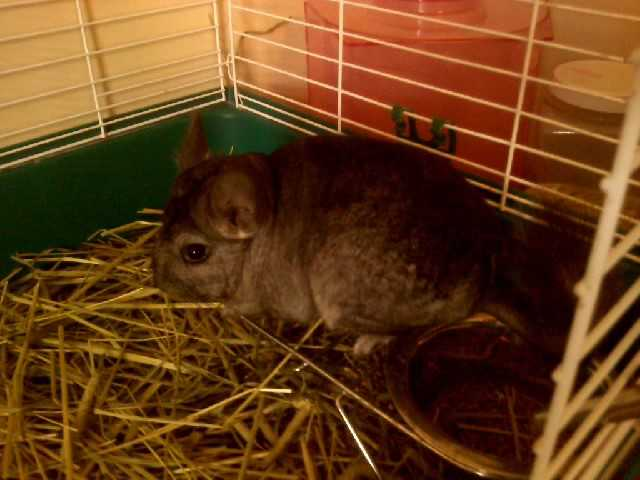 Male Black Chinchilla 4 Sale!
