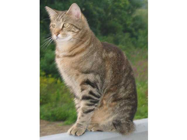 Reward: Lost Gray - Brown Male Tabby Cat