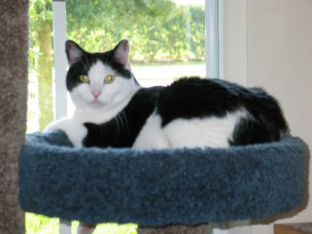 Lost Black And White Cat - Rock Springs Ridge Subdivision