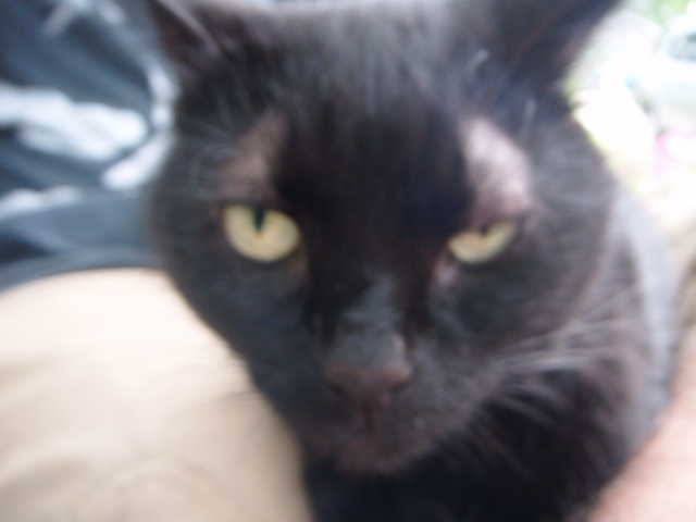 Found - Declawed Black Cat